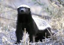 HONEYBADGER 3